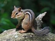 Backenhörnchen