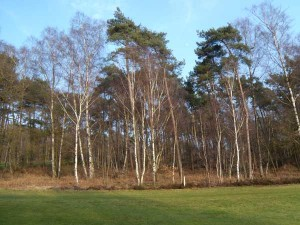 Birken im Wald