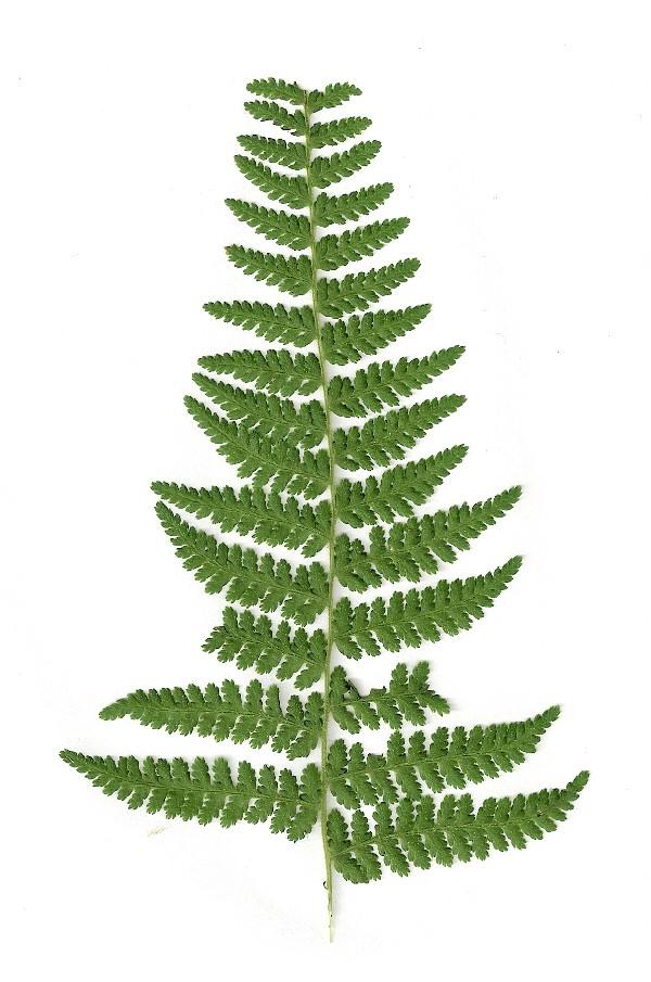 farn polypodiopsida eine typische waldpflanze. Black Bedroom Furniture Sets. Home Design Ideas