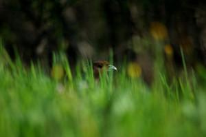 Jagd Wild und Hund / Fasan im Hintergrund