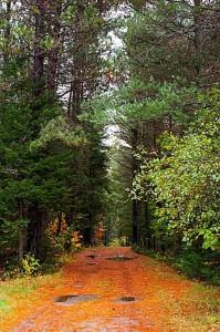 Kiefern im Herbst-Wald